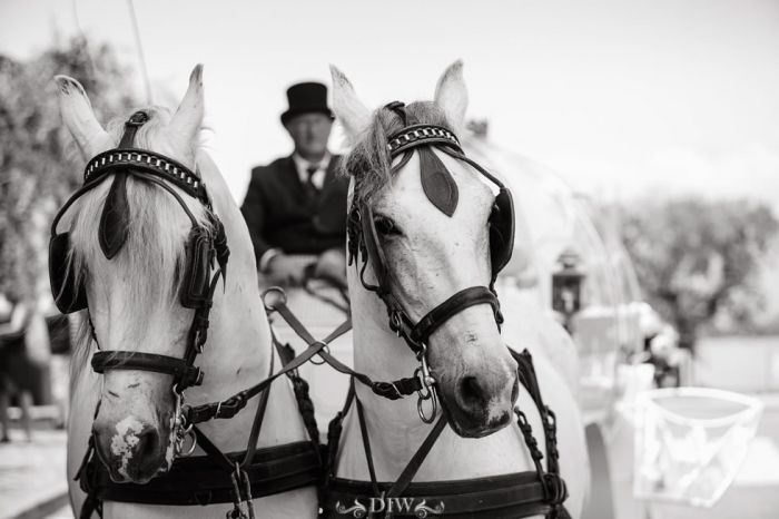 50 Italy wedding carriage horses
